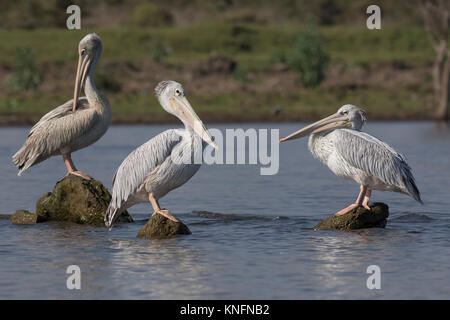 Pink-Backed Pelicans - Stock Photo