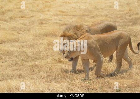 african safari september 2017 serengeti n'gorongoro manyara tanzania - Stock Photo