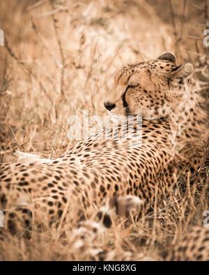 Cheetah resting on field at Serengeti National Park - Stock Photo