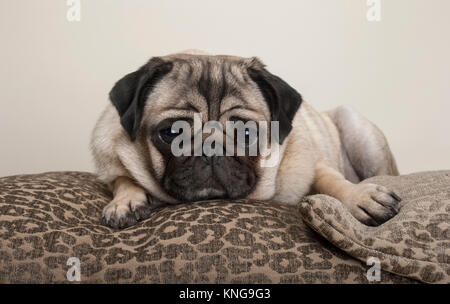 lovely sweet pug puppy dog, lying down on cushions, with leopard print - Stock Photo