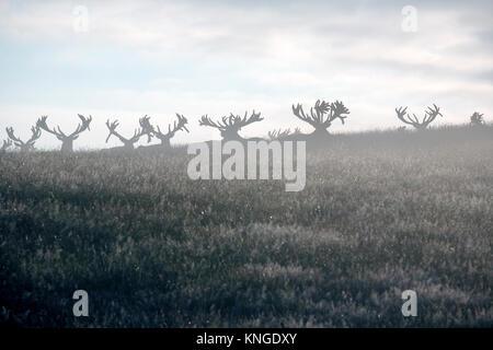 Fallow deer (Dama dama), Woburn Deer Park, Bedfordshire