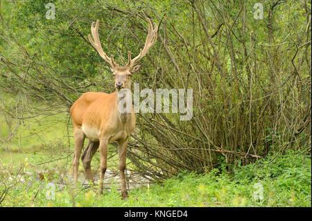 Altai deer in their natural habitat - Stock Photo