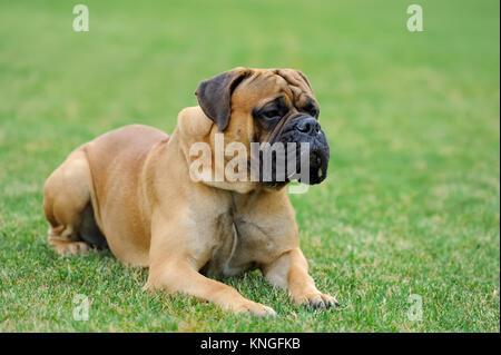 Close English Mastiff dog  in green summer grass - Stock Photo