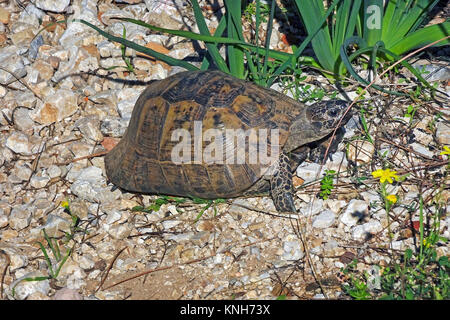 Spur-thighed tortoise or Greek tortoise (Testudo graeca) at the castle hill, IUCN red list, Alanya, turkish riviera, - Stock Photo