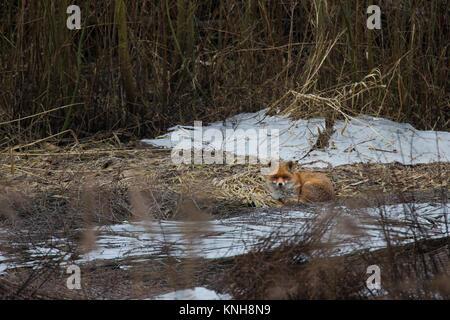 Rotfuchs, Rot-Fuchs, Fuchs, Vulpes vulpes, red fox - Stock Photo