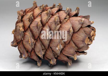 Cedar cones on a gray background - Stock Photo