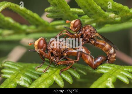 Conopid flies (Sicus ferrugineus) mating on a fern in woodland. Cahir, Tipperary, Ireland. - Stock Photo