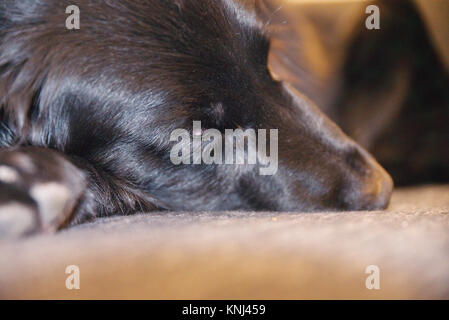 One-eyed dog that´s a mix between a German Shepherd and Flatcoat Retriever sleeping on a couch. - Stock Photo