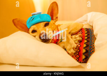 sick and ill chihuahua  dog resting  having  a siesta or sleeping  with thermometer and hot water bottle - Stock Photo
