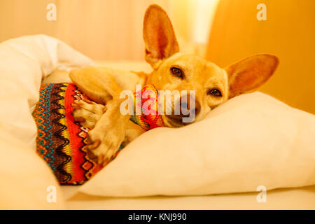 sick and ill chihuahua  dog resting  having  a siesta or sleeping  with hot water bottle - Stock Photo