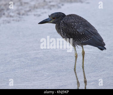 An immature yellow-crowned night heron (Nyctanassa violacea)hunts for food on the beach at Puerto Baquerizo Moreno. - Stock Photo