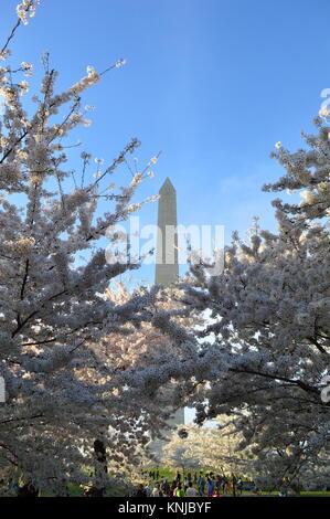Washignton DC, Columbia, USA - April 11, 2015: Washington-DC-Monument-cherry-blossom - Stock Photo