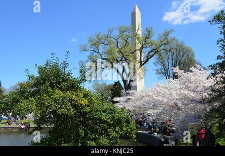 Washignton DC, Columbia, USA - April 11, 2015: The cherry trees in full bloom and the Washington Monument - Stock Photo