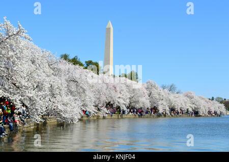 Washington DC, Columbia, USA - April 11, 2015: Washington Monument & Cherry Blossom - Stock Photo