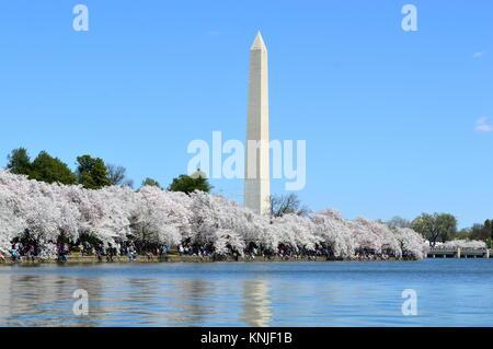 Washington DC, Columbia, USA - April 11, 2015: Washington-DC-Monument-cherry-blossom - Stock Photo