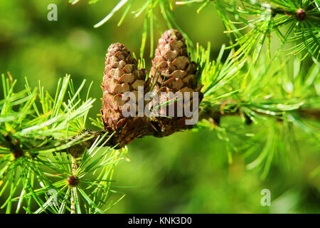Larch cones. European larch Larix decidua Mill branches with seed cones and foliage on larch tree growing in forest. - Stock Photo
