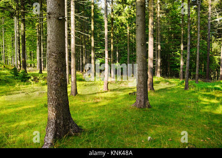 Tall Norway spruce picea abies trees in woodland. Spruces growing in evergreen coniferous forest in the Owl Mountains - Stock Photo