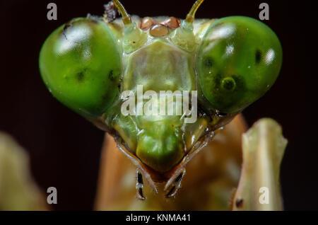 Green praying mantis in close up macro photo. - Stock Photo