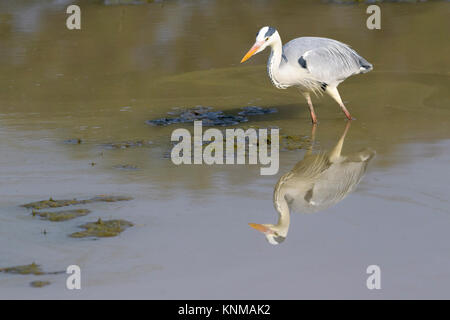 Grey heron (Ardea cinerea), foraging for food with reflection, Mountain Zebra National Park, South Africa - Stock Photo