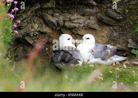 Northern Fulmar (Fulmarus glacialis) adult pair, nesting on cliff ledge, Skirza head, Scotland, UK - Stock Photo