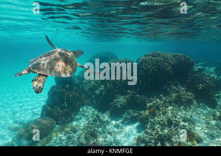 Underwater a green sea turtle Chelonia mydas over a coral reef, Caribbean sea - Stock Photo
