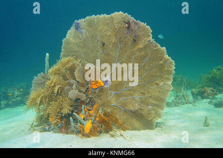 Soft coral venus fan, Gorgonia flabellum, underwater on a sandy seabed in the Caribbean sea, Cuba - Stock Photo