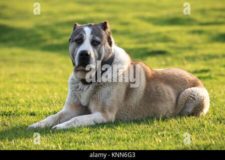 big alabai dog rest in green spring meadows - Stock Photo