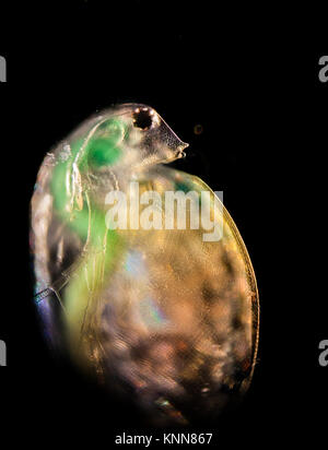 Daphnia in the water column, visitor from another world - Stock Photo