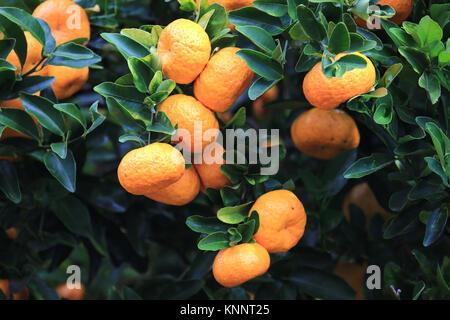 Ripe orange tangerines on tree, Hawaii - Stock Photo
