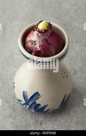 Hyacinth flower bulb starts growing in a traditional Dutch vase - Stock Photo