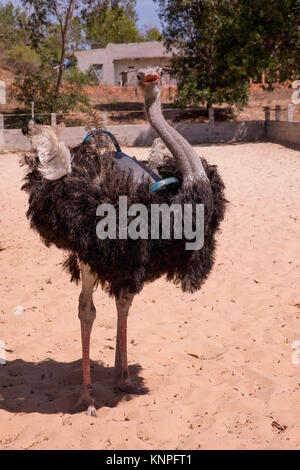 Ostrich or Common Ostrich (Struthio camelus), reared in a fence for tourists, in Vietnam. - Stock Photo