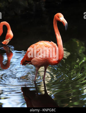The bright pink feathers on the flamingo makes this water bird unable to be mistaken for any other bird - Stock Photo