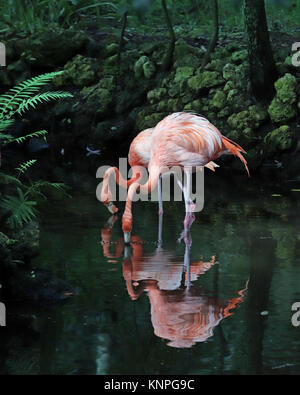 Beautiful light pink flamingos sipping out of the river in tropical landscape - Stock Photo