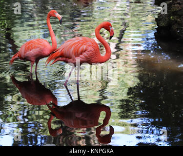 When a flamingo looks for it's favorite foods which include shrimp, snails, and plantlike water organisms called - Stock Photo