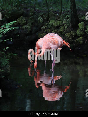 Two pretty pink Flamingos hunting for food in a shallow river - Stock Photo