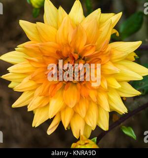 A macro shot of a yellow / orange coloured dahlia noordwijks glorie bloom. - Stock Photo