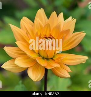 A macro shot of an orange coloured dahlia called noordwijks glorie. - Stock Photo