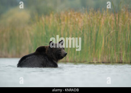 European Brown Bear / Braunbaer ( Ursus arctos ), young, playing, bathing, taking a bath in shallow water, in nice - Stock Photo