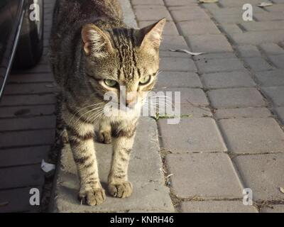 Beautiful cat on the streets of Tanger, Morocco - Stock Photo