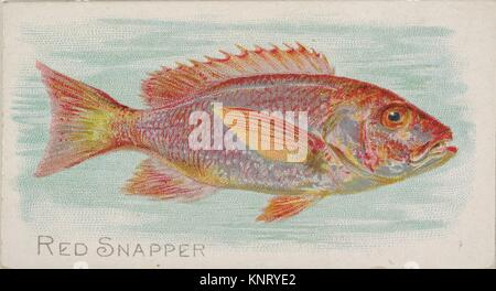 Red Snapper, from the Fish from American Waters series (N8) for Allen & Ginter Cigarettes Brands. Publisher: Issued - Stock Photo