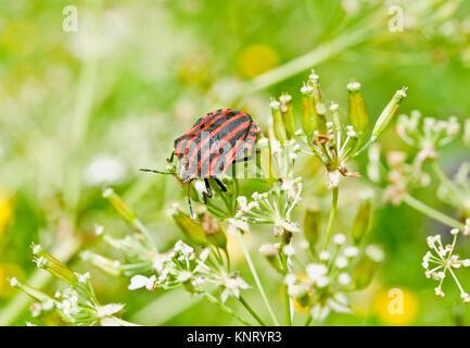 Italian striped bug, Graphosoma lineatum, a species of shield bug in the family Pentatomidae - Stock Photo