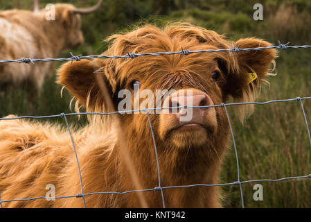 highland calf looking out - Stock Photo