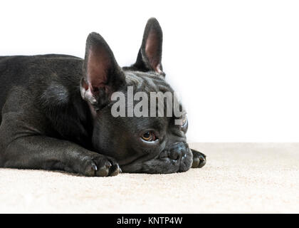 blue french bulldog waiting and watching with sad eyes on a white background with a cream house carpet room for - Stock Photo