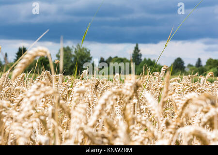 Wheat Grain Field Beige Landscape Nature Outdoors Farm Country - Stock Photo