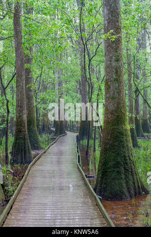 Congaree National Park, low boardwalk through moss covereed Water Tupelo in spring. - Stock Photo