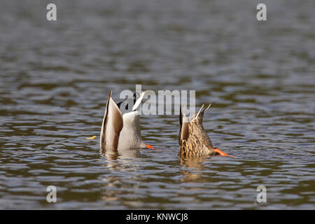 Mallard duck (Anas platyrhynchos) and female upend dabbling in lake to feed underwater - Stock Photo