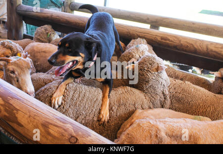 A sheepdog with tongue hanging out rests on the back of the sheep he just coralled in wooden pen - Stock Photo