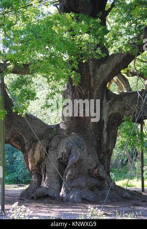 The Major Oak, Robin Hood's Tree, Sherwood Forest. The Home Of Robin Hood - Stock Photo