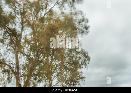 The wind moving the branches of a eucalyptus on a stormy day near the Proserpina reservoir, Badajoz, Extremadura, - Stock Photo