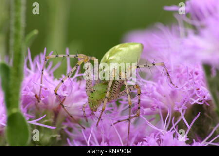 Dorsal view of adult green lynx spider, Peucetia viridans climbing on purple paintbrush plant - Stock Photo